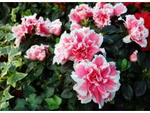 Asaleas blomster