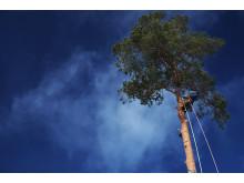 Arborister – stor show och en nödvändighet för skogsbruk i städer.