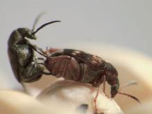 pm_beetle