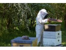 Biodlare Lotta Fabricius Kristiansen tittar till sina bin i Kyrkhamn, Hässelby