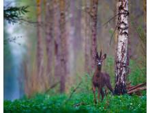 Rådyrbukk - Foto Shutterstock (1)