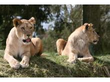 Lejon på Givskud Zoo