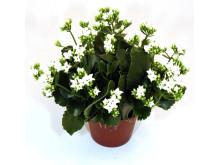 Lucka nr 17 - Vitblommande Kalanchoe i en Blomstrande Julkalender