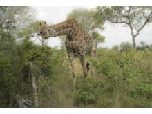 Safari I Kruger National Park
