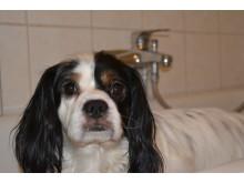 Hund i badkar
