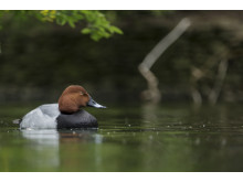 SonyNatureCommonPochard