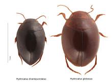 Nya arter av dykarbaggar