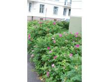 Rynkerose, Rosa rugosa, finnes både med og uten spredningsfare