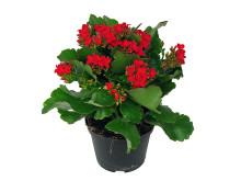 Lucka nr 5 - Rödblommande Kalanchoe i en Blomstrande Julkalender