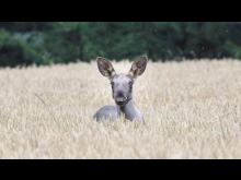 moose-2_Foto Jimmy Pettersson SLU.jpg