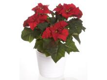 Julstjärna Euphorbia pulcherrima Signe
