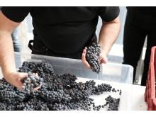 Sorting_grapes_JanMalmström.JPG