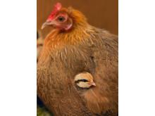 Kyckling och höna