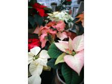 Julstjärnans Dag 2011