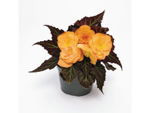 Begonia-tuberhybrida-GO!Early-F1-Bright-Orange-Bronze-Leaf