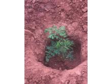En liten Moringaplanta ser dagens ljus, om bara någon månad kan den hjälpa en familj till en bättre framtid