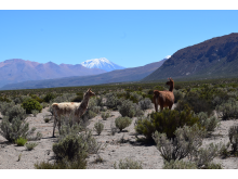 Llamas walking on magma reservoar