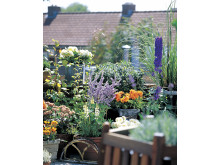 Dahlia 'Gallery Vincent' i sällskap med andra växter