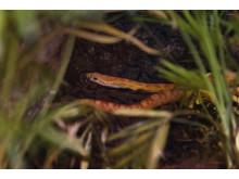 Kornnatter aus der Adoptierstube Schwentinental