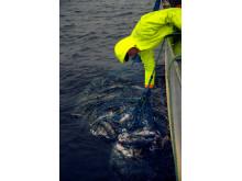 Skreifiske vid norska kusten