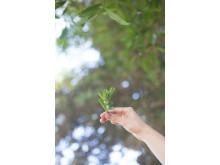 Stevia plant in air
