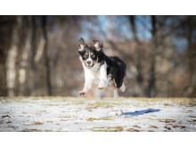 Border collie kontorshund