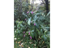 The Himalayan or Indian balsam is one of this year's new inclusions on the EU list of banned invasive plants that are forbidden to own and must be eradicated.