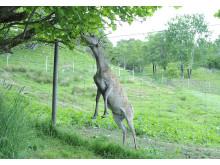 Hjort i hegn