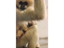 Vitkindad Gibbon född på Parken Zoo Eskilstuna