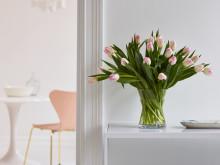Tulipaner i hvitt og rosa