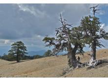 Torkkänsliga tusenåriga träd från bergen i Grekland.