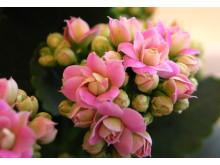 Ildtopp er svært tolerante planter for alle som ønsker seg sterke, blomstrende planter
