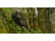 Dian Fossey: Mordgåde i disen