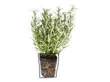 (Rosmarinus officinalis)