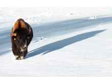 Bison på Wrågården