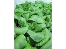 Foton från Plantagons odling i testbädd hos SLU av pak choi (Brassica napa)