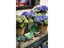 Balkonginspiration med hortensia