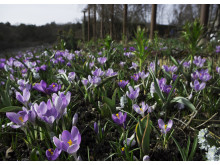 Vårfägring i rabatten på Rosendals Trädgård - krokusen Remembrance & Vanguard