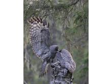 EOS 90D_MARKUS_VARESVUO_SAMPLE_Great Grey Owl Kuhmo_1081[1]