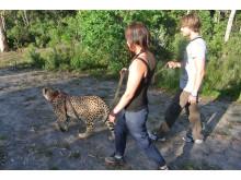 Geparderna kunde man även gå ut och gå med i koppel, en väldigt häftig upplevelse