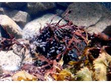 Bläckfiskägg Foto: Havets Hus