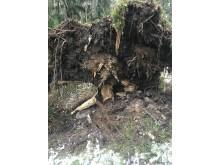 Rotvälta stormfälld skog