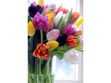Tulpaner i blandade färger i glasvas