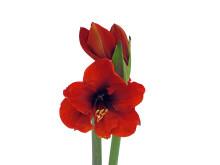 Lucka nr 1 - Amaryllis i en Blomstrande Julkalender