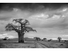 Lone Tree, Kenya