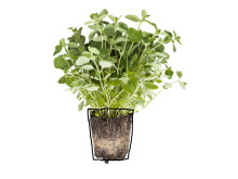 Mejram (Origanum majorana)