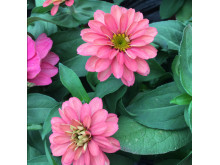 7509_zinnia_sahara_salmon_rose_low