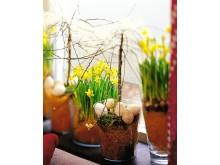 Narcissus amaryllidaceae 'Tête à Tête'