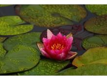 Lotusblomman är så konstruerad att dess yta stöter bort vatten och smuts. Foto: Marina Logvin.