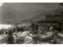 Fårene drives i rætt ved Gøte på Østerø i 1898
